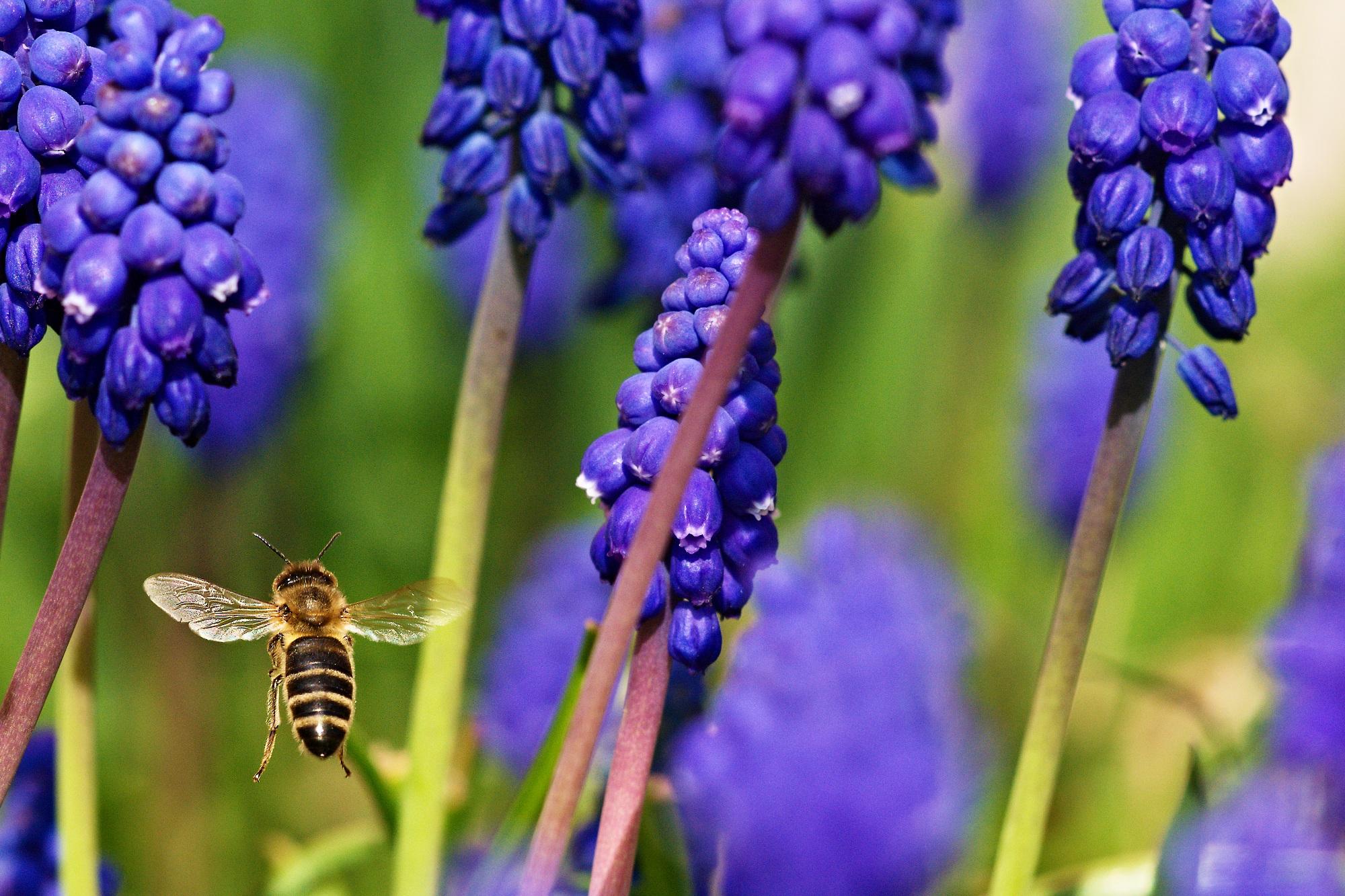 Helfštýn - včela v letu