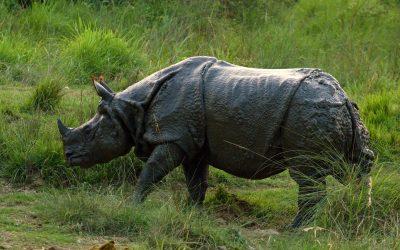 Nosorožčí roh zkoňských žíní