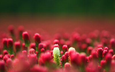 Rudý jetel inkarnát – kam na něj