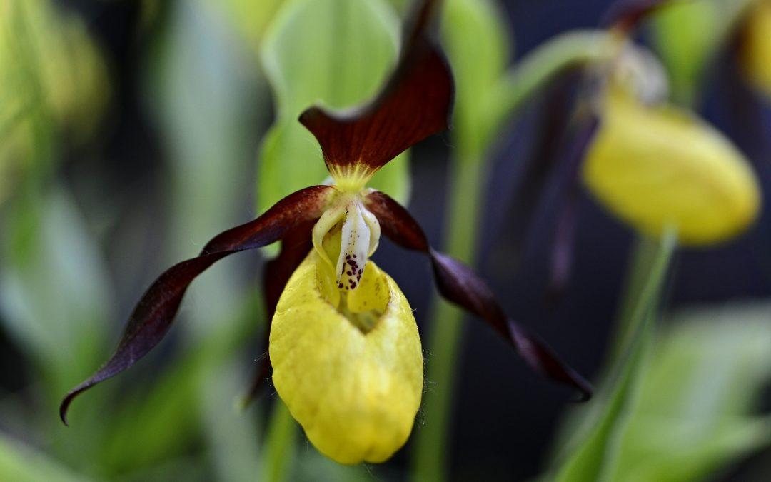 Jak vznikla první orchidej? ZVenušina pantoflíčku, nebo roztříštěné duhy?